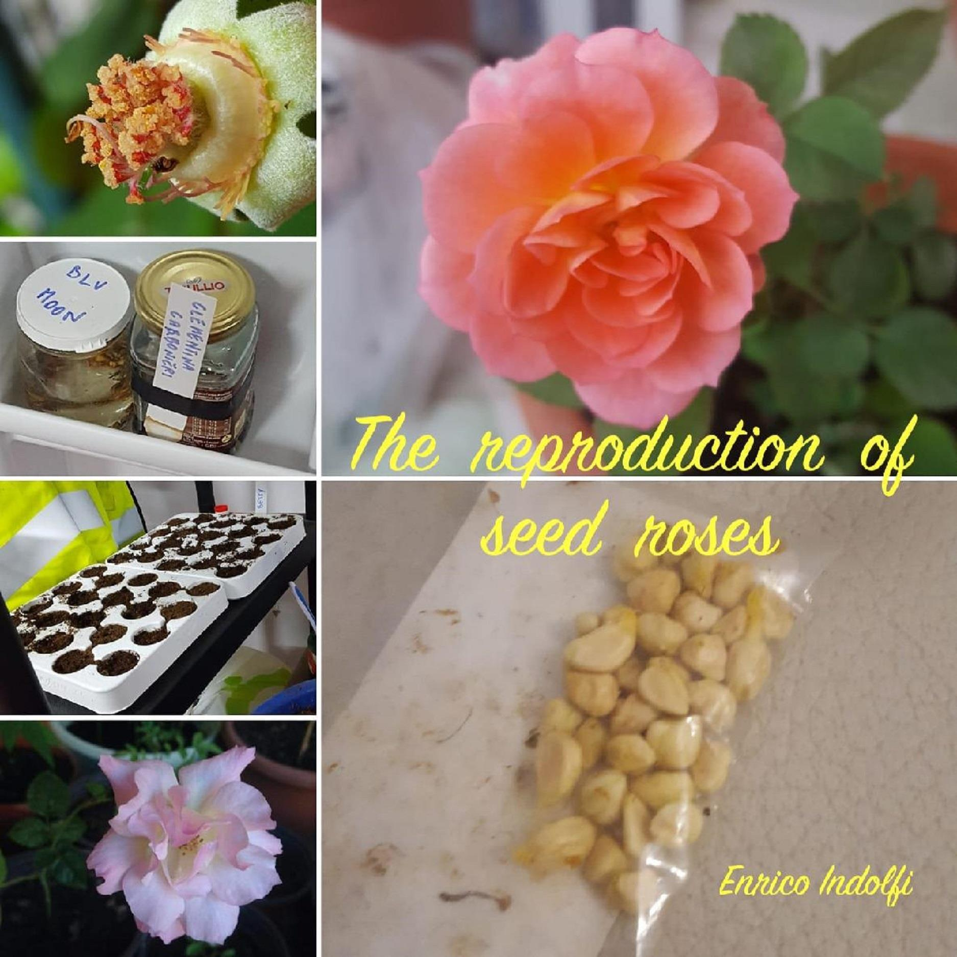 The reproduction of seed roses
